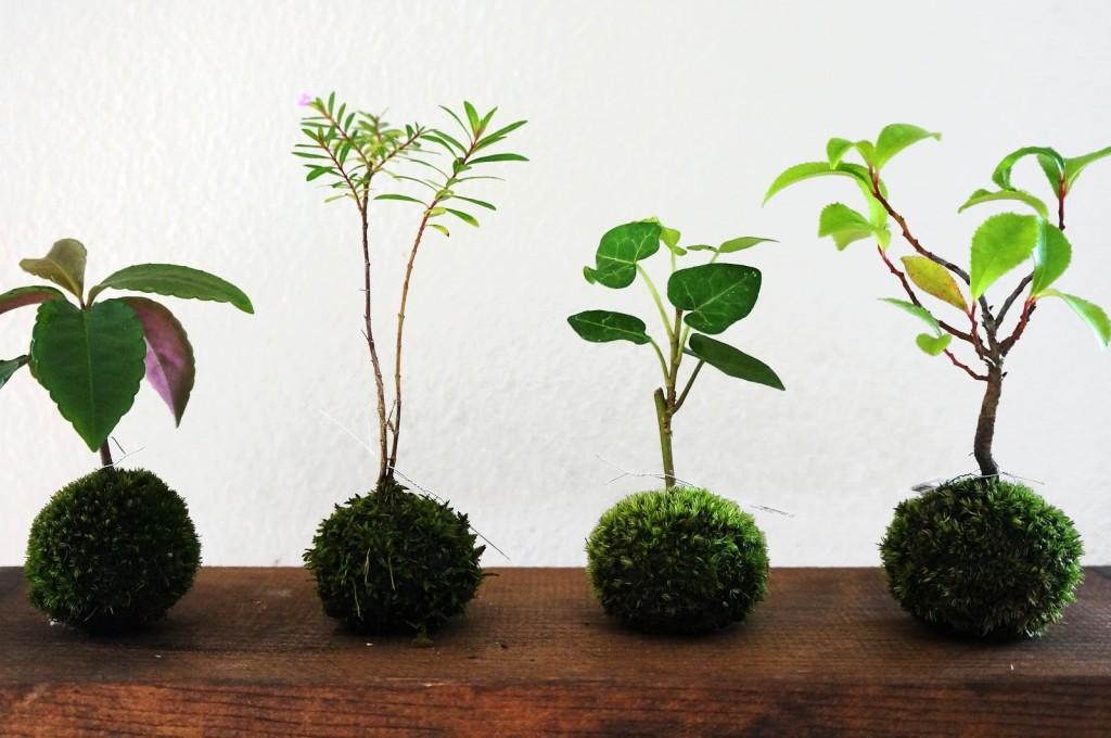 kokedama-plante